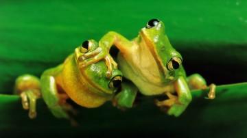 Nieostrożne żabki