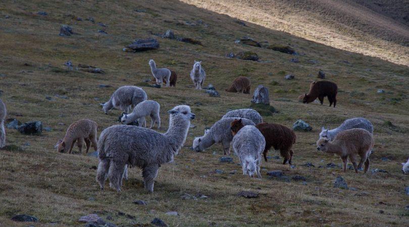 alpacas-1030913_960_720